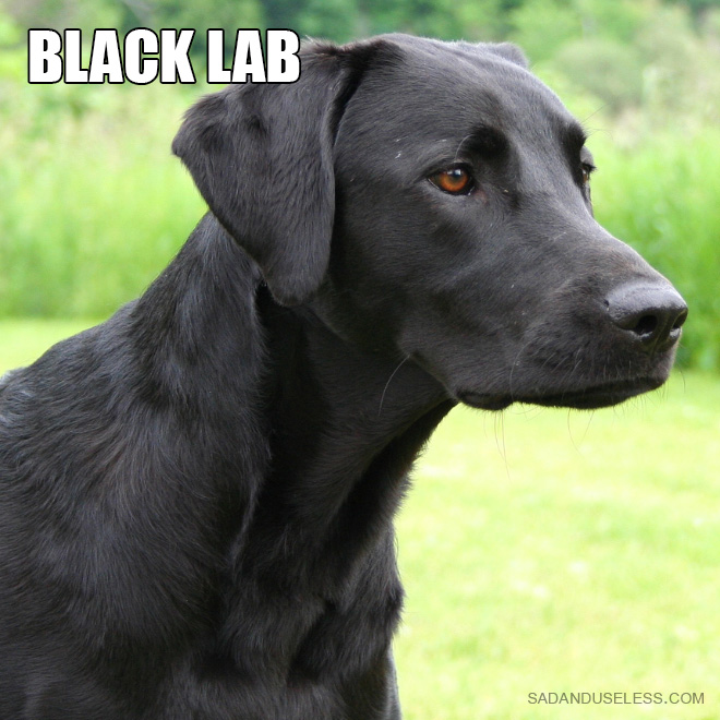 Labs Good Running Dogs