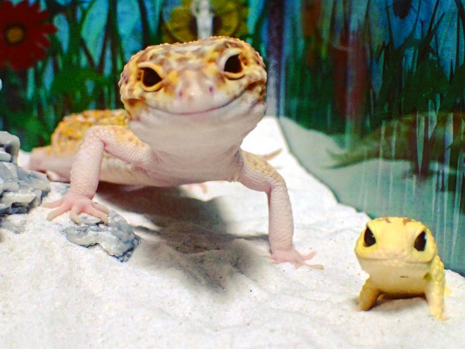 Gecko Can't Stop Smiling When He's Around His Toy Gecko | 660 x 495 jpeg 89kB