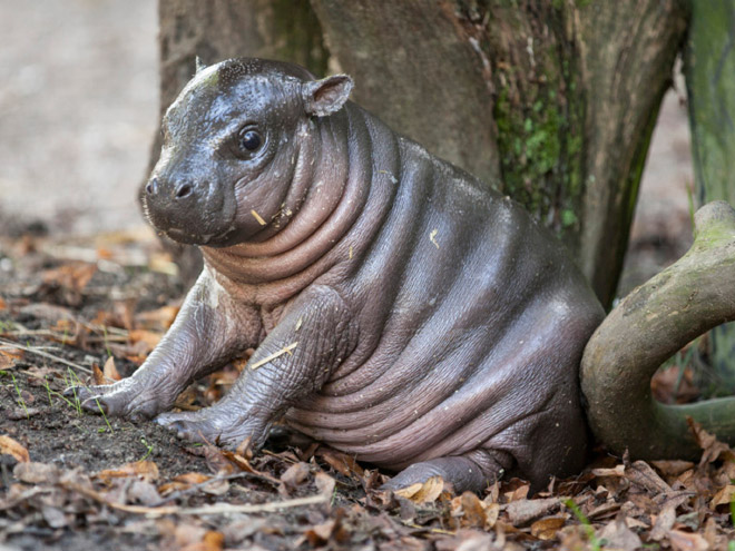 baby hippo pics that will instantly make you smile - Pictures Of Hippos