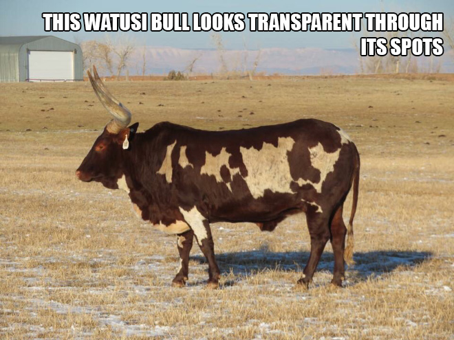 This Watusi bull looks transparent through its spots.