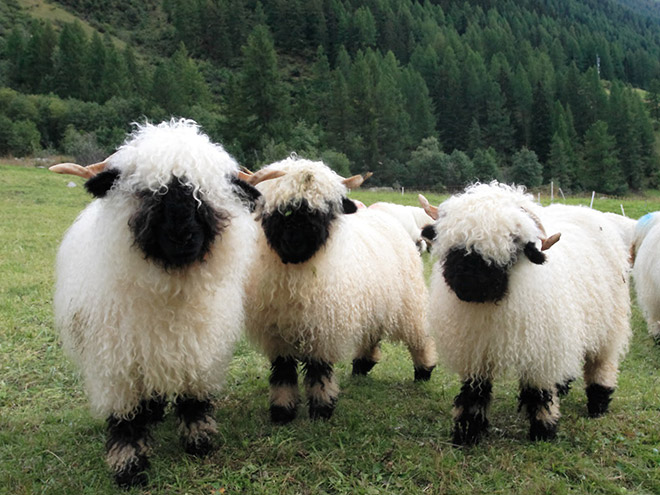 Heavy metal sheep band.