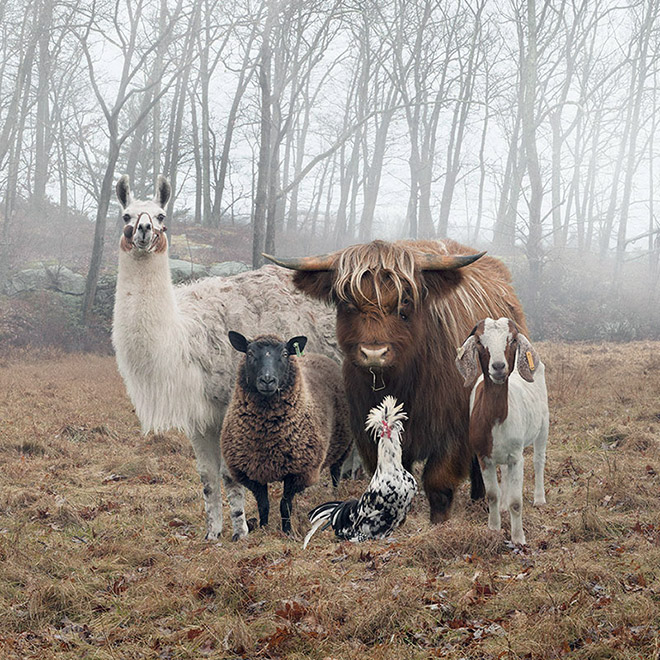 Typical country album cover done by farm animals.