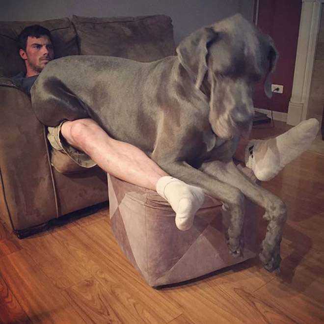 This huge beast thinks he's a lapdog.