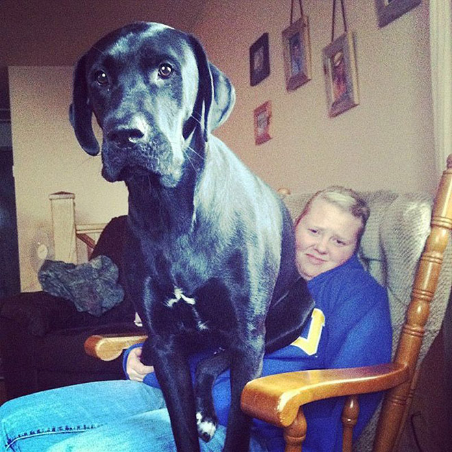 Huge dog that thinks he's a lapdog.