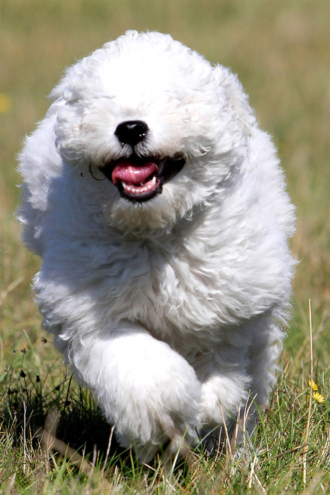 Happy white running dog.