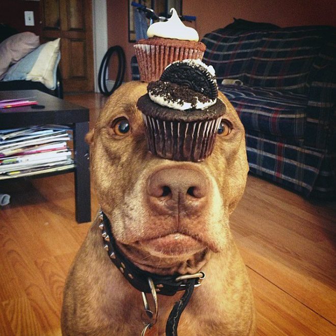 Pitbull balancing cupcakes on the head.