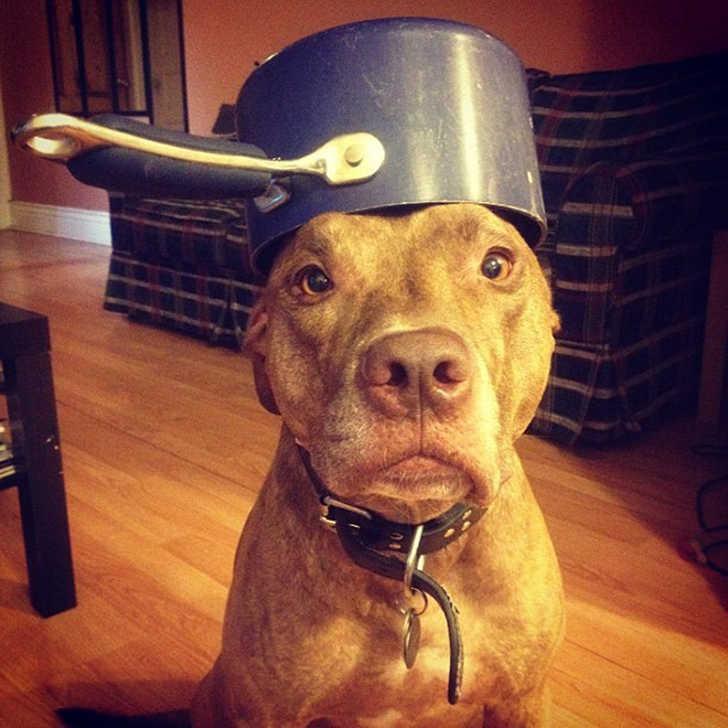 Well trained dog wearing a helmet.
