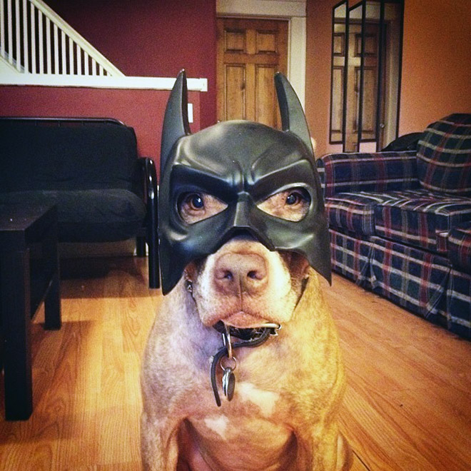 Pitbull Batman.