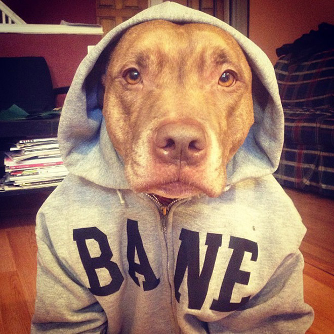 Funny dog in a hoodie.