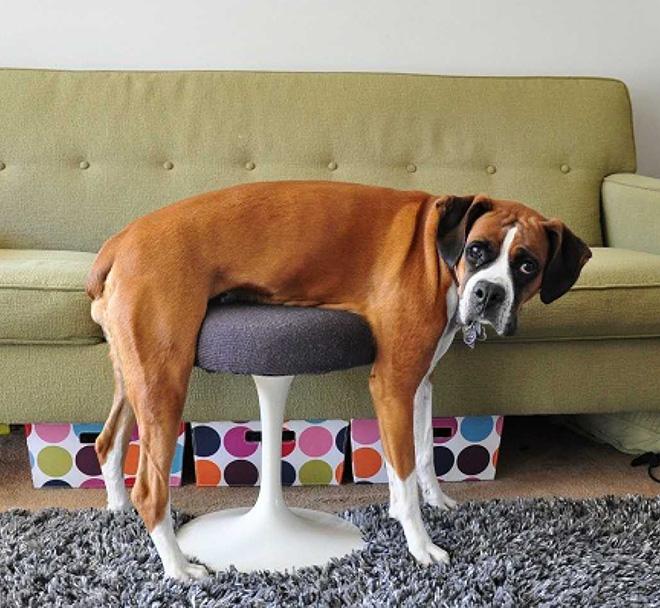 Dog vs. chair.