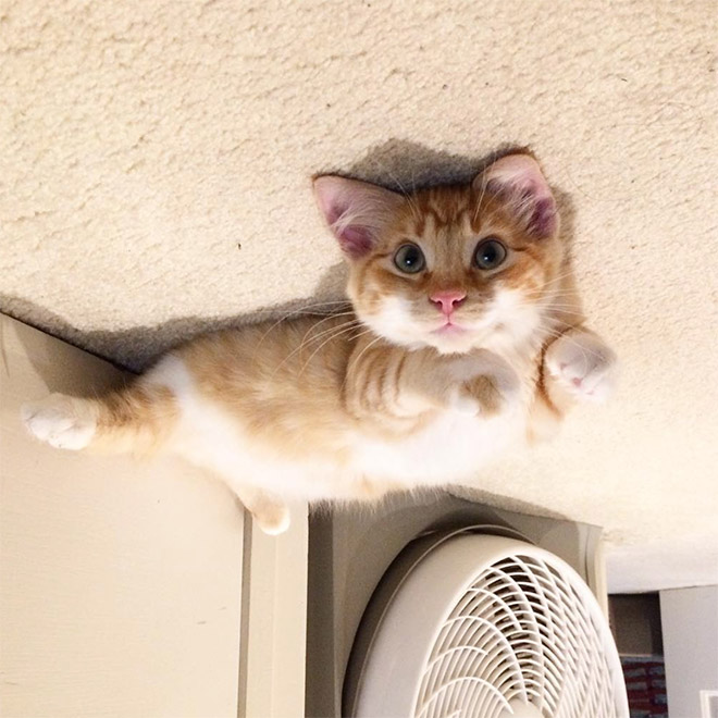 Desperate cat stuck to the ceiling.
