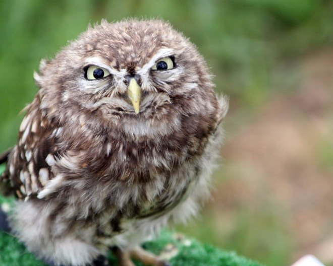 Really angry owl.