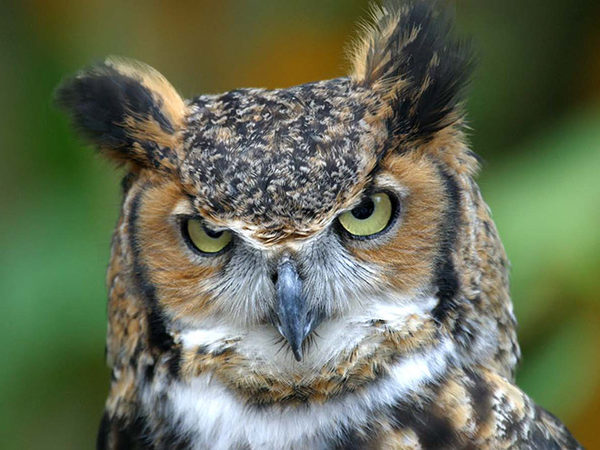 Terribly angry owl.