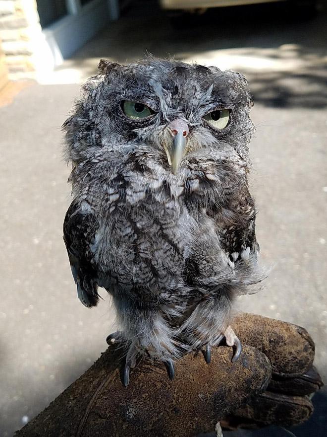 Grumpy owl.