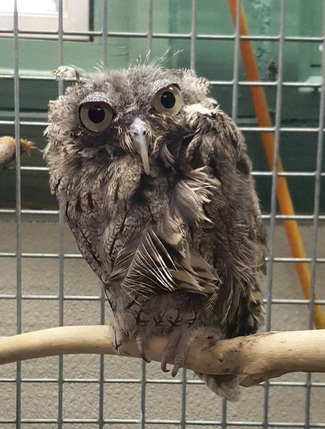 Angry owl.