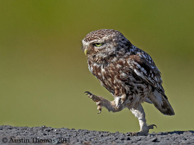 Have you ever noticed that owls look hilarious while walking?