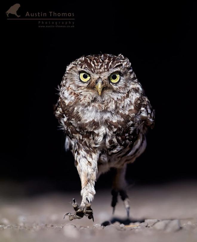 Angry walking owl.