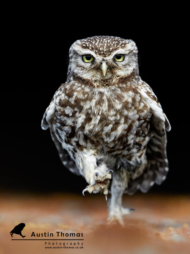 Walking owls are hilarious.