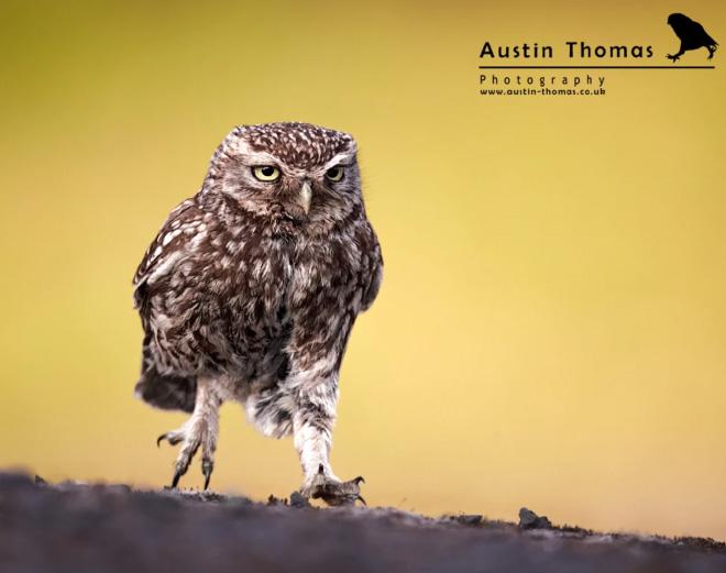 Hilarious walking owl.