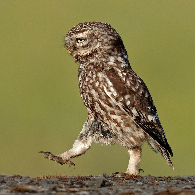 Hilarious walking owl.