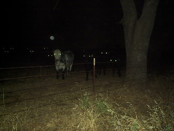 These cows came here to eat your soul.