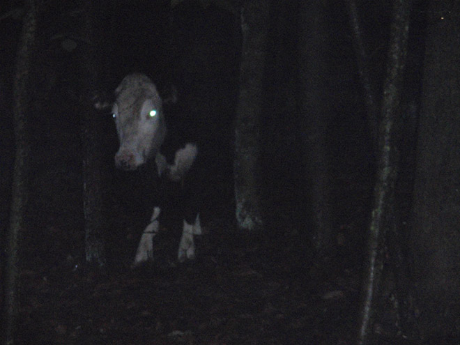 Creepy cow at night.