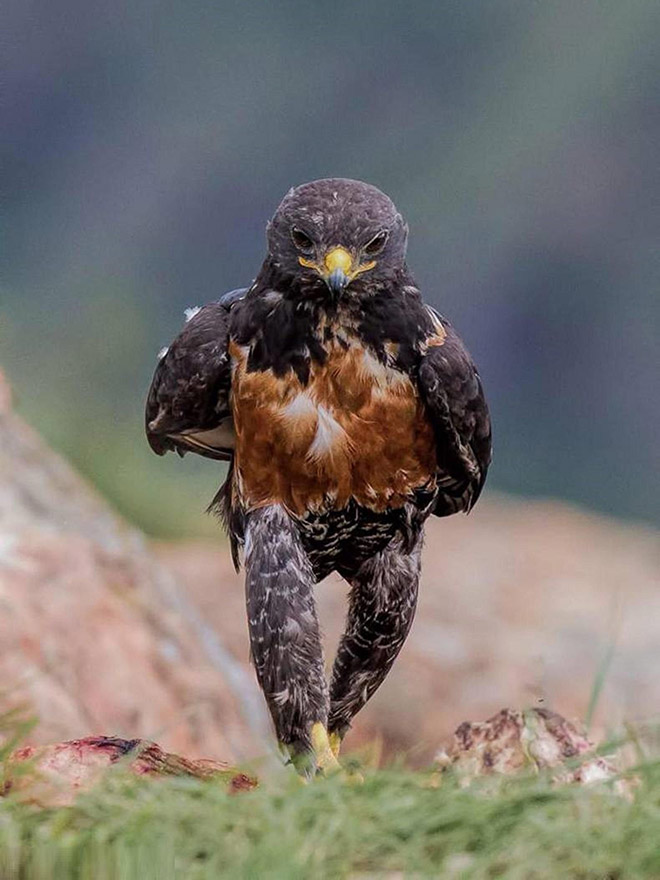 Angry walking eagle.