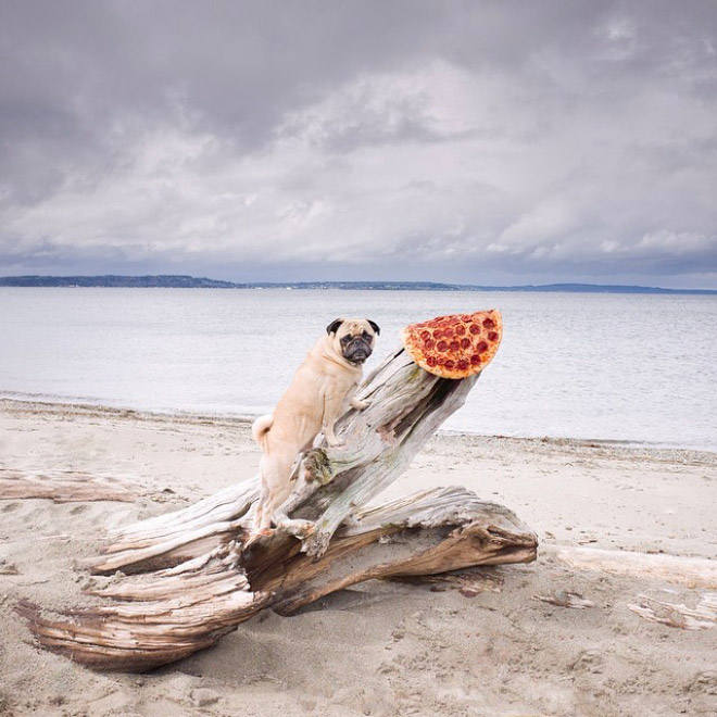 Pug posing with pizza at the beach.