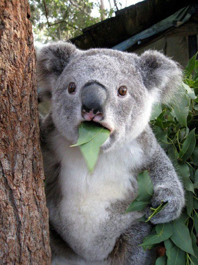This koala is shocked about your poor life choices.