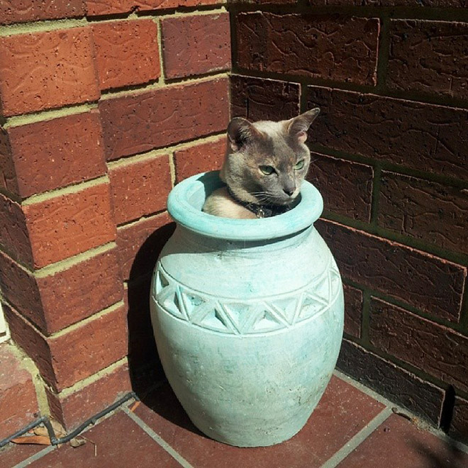 Beautiful cat plant in a pot.