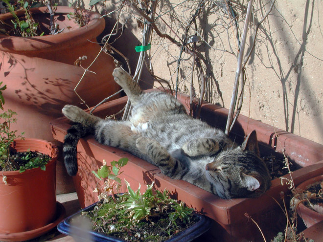 Beautiful cat plant taking a well-deserved nap.