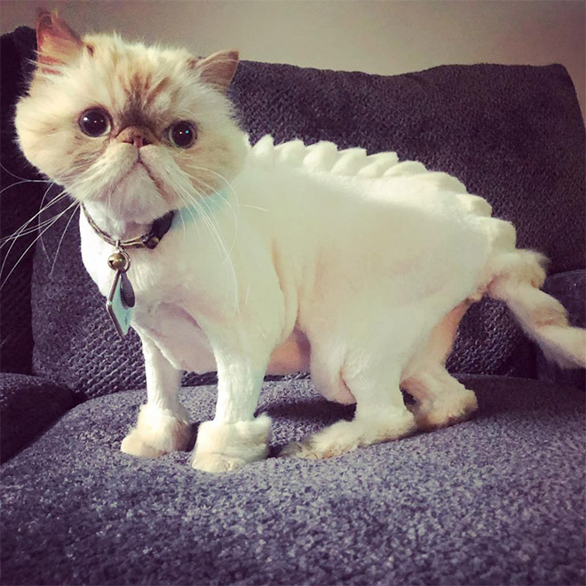 Dinosaur cat haircut. Is this OK or not?