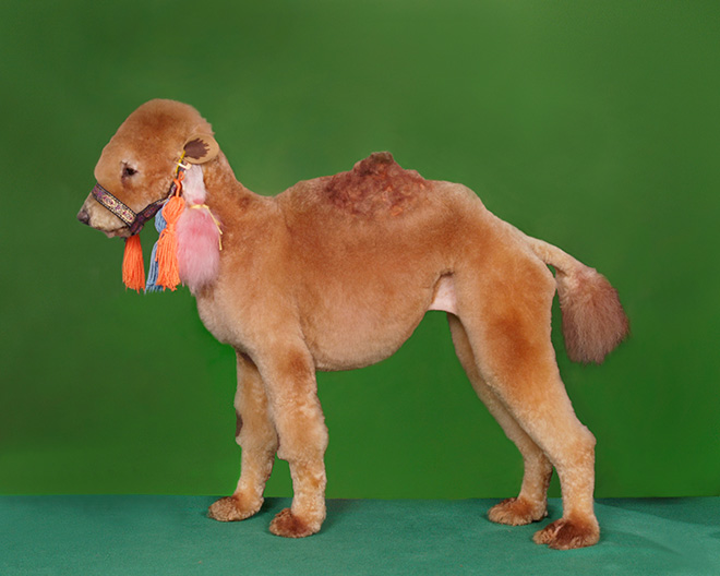 Weird example of competitive dog grooming.