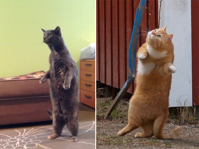 Cats standing up.