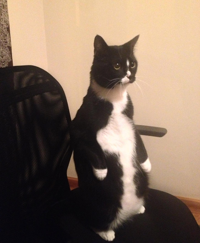 Cat standing up.