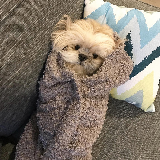 Adorable dog burrito.