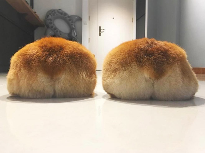 Adorable corgi butts.