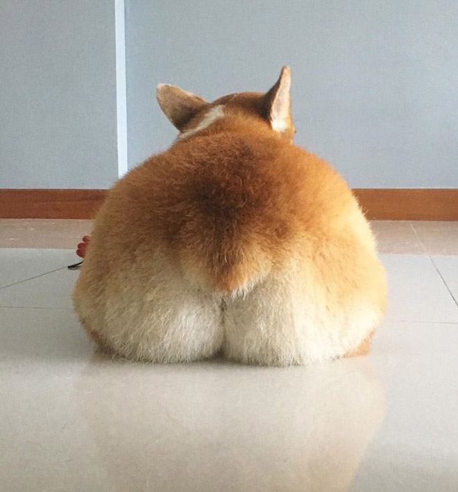 Adorable corgi butt.