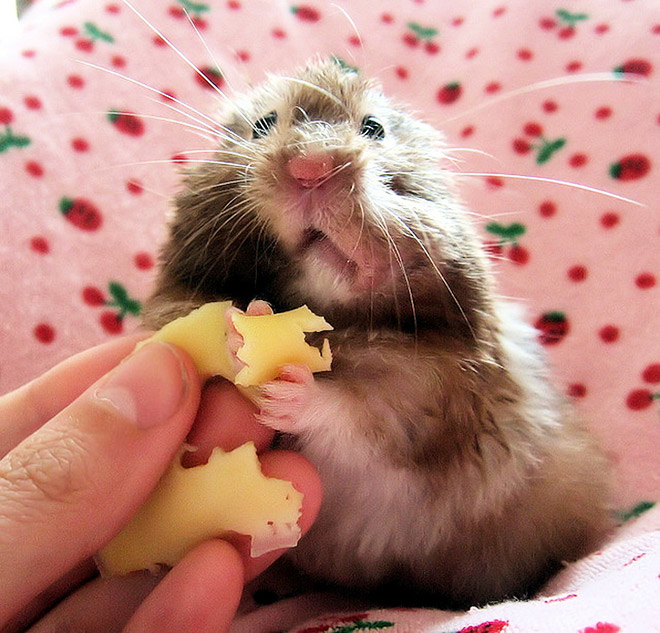 Hamster caught stuffing his big, fat face.