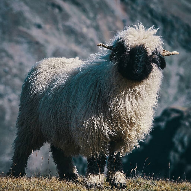 Cool heavy metal sheep.
