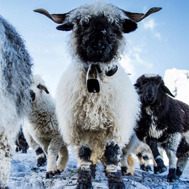 Awesome heavy metal sheep.