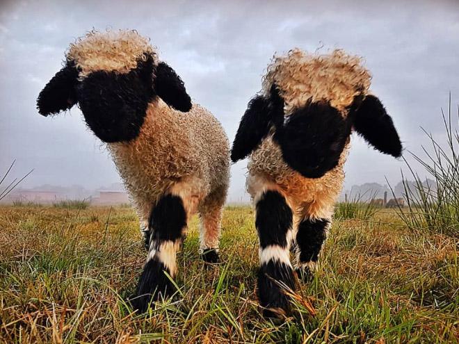 Heavy metal sheep.