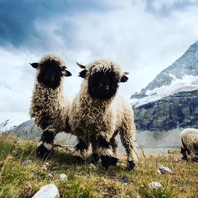 Cool black metal sheep.