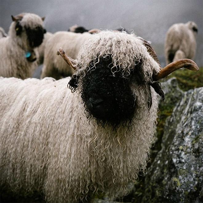 Black metal sheep.