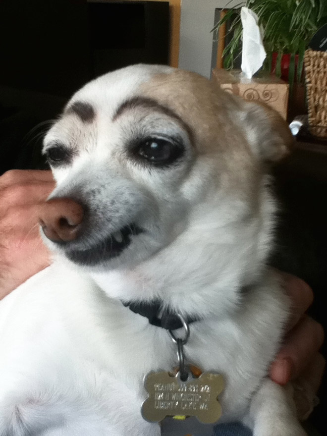 Dog with makeup eyebrows.