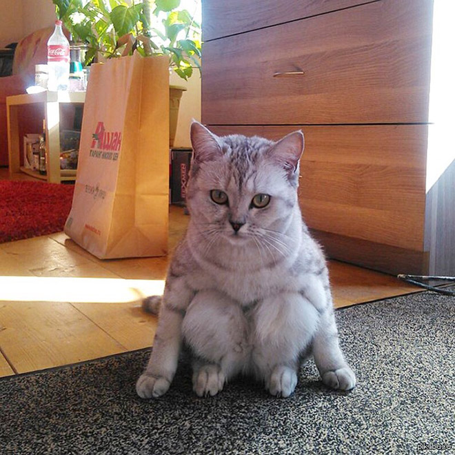 Awkwardly sitting cat.