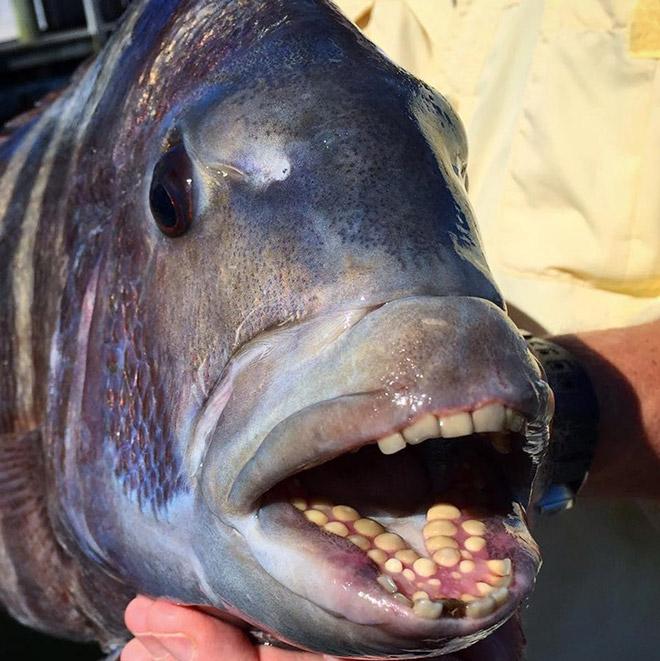Fish with human-like teeth.