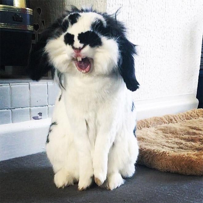 Yawning rabbits look terrifying.