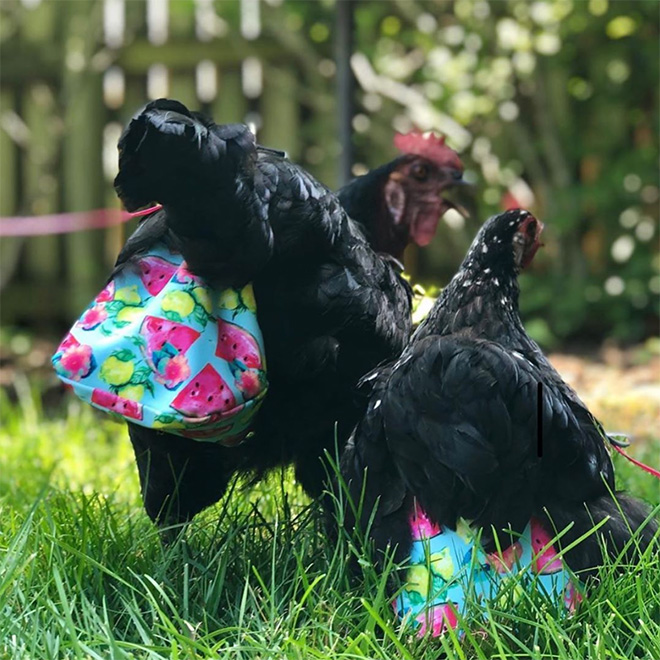 So chicken diapers are becoming popular...