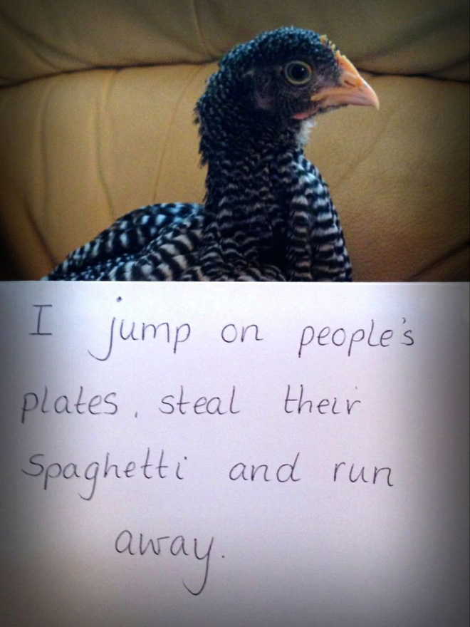 Chicken shaming.